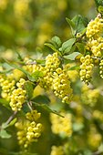 Barberry (Berberis mitifolia) in bloom