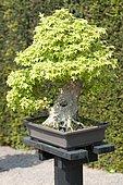 Bonsai, Trident maple (Acer buergerianum)
