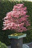 Bonsai, Japanese maple (Acer palmatum) 'Deshojo'