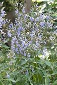 Brillantaisia (Brillantaisia owariensis) in bloom