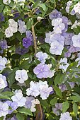 Yesterday-today-and-tomorrow (Brunfelsia pauciflora) in bloom