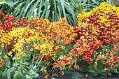 Slipper flower (Calceolaria sp) Sunset Series