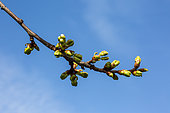 Cherry tree buds in early april, Provence, France