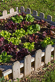 Lettuce in a square foot kitchen garden, Provence, France