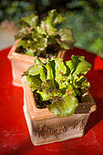 Lettuce in small pot, Provence, France