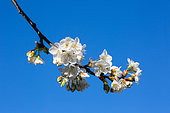 Branch of cherry tree in bloom, Provence, France