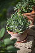 Unflowered lavender in pot, Provence, France
