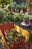 Various herbs and salad in pots, Provence, France