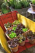 Various salad in pots on a wheelbarrow, Provence, France