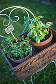 Mint and basil in pot on a chair, Provence, France