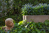 Clay angel and myosotis in planter, Provence, France