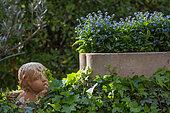 Moulage de tête d'ange et jardinière de myosotis, Provence, France
