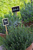 Herbs: thyme and lavender in pots, Provence, France