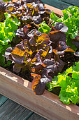 Planter with red and blonde oak leaf Lettuce, Provence, France