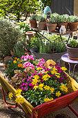 Pelargonium, Heuchera, Euryops, Dianthus and Gazania on a wheelbarrow, Provence, France