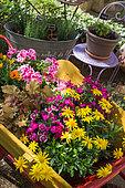 Aromatiques en pot et brouette chargée de fleurs en pot : Pelargonium, Heuchera, Euryops, Gazania, Dianthus, Provence, France