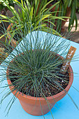 Blue fescue grass in pot, Provence, France
