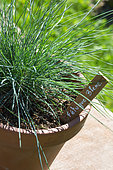 Festuca glauca - Blue fescue grass in pot, Provence, France