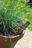 Festuca glauca - Blue fescue grass in pot, Provence, France