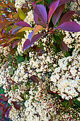 Photinia flowering in may, Provence, France