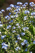 Forget-me-not in bloom in a kitchen garden, Provence, France