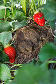 Chicks at nest in Stawberries, Kitchen garden, Provence, France