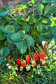 Strawberries 'Dely', Kitchen garden, Provence, France