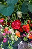 Strawberries 'Cirafine', Kitchen garden, Provence, France