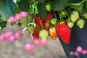 Strawberries, Kitchen garden, Provence, France