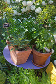 Sage, basil and parsley in pot, Provence, France