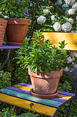 Mint in pot, Provence, France