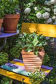 Sage in pot, Provence, France