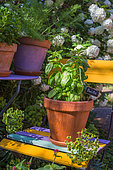 Basil 'Grand vert' in pot, Provence, France