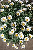 Argyranthemum, Provence France