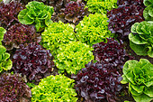 Various Lettuces in a kitchen garden, Provence, France
