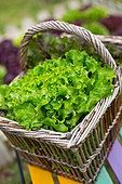 Oak leaf Lettuce in a basket, Provence, France