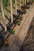 Stakes for tomatoes and plantation of marigolds in a kitchen garden, Provence, France