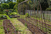 Tomato stakes in a kitchen garden, Provence, France