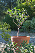 Olive tree in terracotta pot, Provence, France