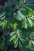 Salad burnet (Sangusorba minor) leaves, Provence, France