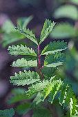 Salad burnet (Sangusorba minor) leaf, Provence, France