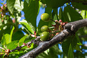 Unripened cherries, Provence, France
