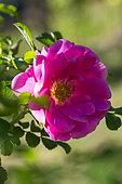 Rose-tree in bloom in a garden