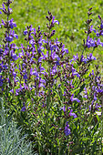 Sage in bloom dans un jardin, Provence, France