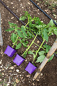 Planting tomato - Seedlings before planting, Provence, France