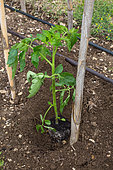 Tomato planting - Seedling planted out, Provence, France