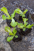 Salad seedlings in a kitchen garden, Provence, France