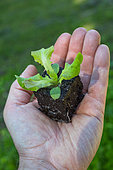 Salad seedling, Provence, France