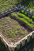 Mesclun (Salad mix) and Dill in a Bartholomew square foot kitchen garden, Provence, France