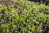 Mesclun (Salad mix) seedlings, Provence, France